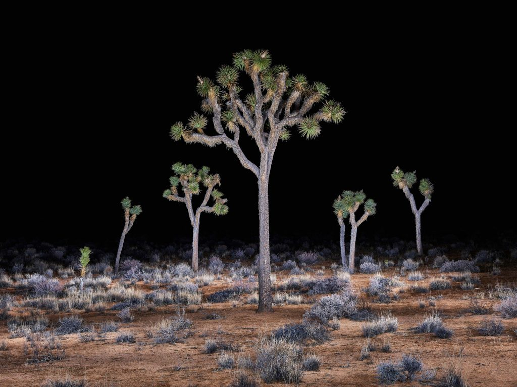 Joshua Tree's, Study 2, Joshua Tree National Park, California, USA, 2016