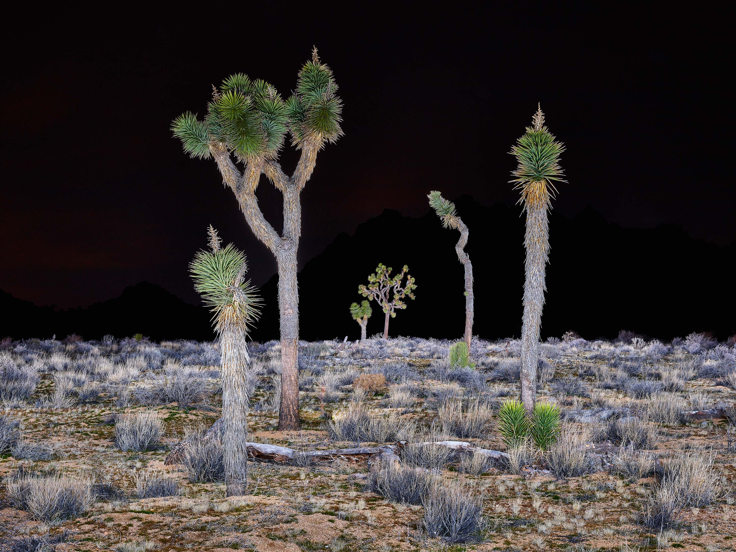 Joshua Tree's, Study 3, Joshua Tree National Park, California, USA, 2016